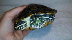 "Adult Male Scales, Fins & Other - Turtle: ""Leonardo"""