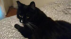 """Senior Male Cat - Domestic Long Hair: """"Wylee"""" Downtown-West End Greater Vancouver Area image 2"""