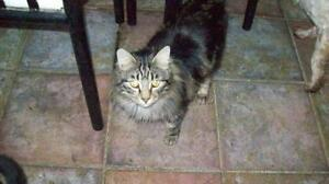 "Young Male Cat - Tabby - black: ""Milo"""