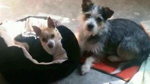 """Young Male Dog - Chihuahua: """"Winston and Jackson"""""""