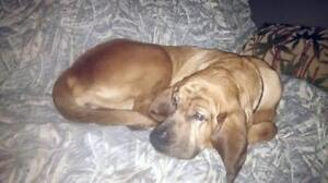"""Adult Female Dog - Bloodhound: """"Daisy Mae"""""""