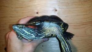 """Adult Male Scales, Fins & Other - Turtle: """"Burt"""""""