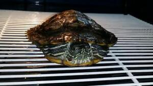 """Young Male Scales, Fins & Other - Turtle: """"Fred"""""""