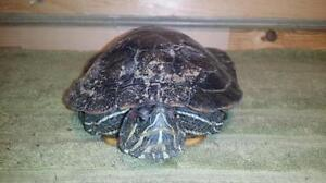 """Adult Male Scales, Fins & Other - Turtle: """"Mavis"""""""