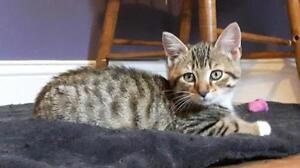 "Baby Male Cat - Domestic Short Hair - brown: ""Mike"""
