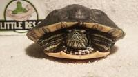 """Adult Male Scales, Fins & Other - Red-eared Slider: """"Top T"""""""