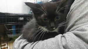 """Baby Male Cat - Domestic Short Hair: """"Jeeves (Intake#2016-91)"""""""