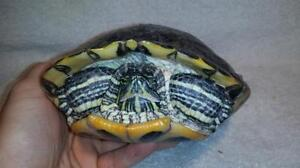 """Adult Male Scales, Fins & Other - Turtle: """"Dean"""""""