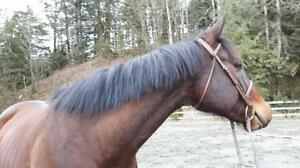 """Adult Male Horse - Thoroughbred: """"Little Brown Derby"""""""