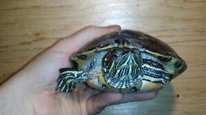 """Young Male Scales, Fins & Other - Turtle: """"Justin"""""""