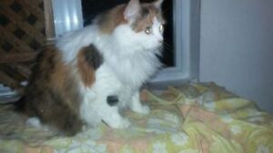"Adult Female Cat - Calico-Domestic Long Hair: ""LAILA"""