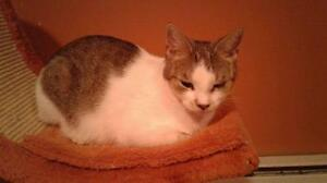 """Adult Female Cat - Domestic Short Hair: """"Carly"""""""