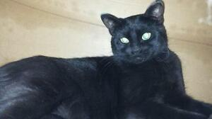 "Adult Female Cat - Domestic Short Hair: ""Alora"""