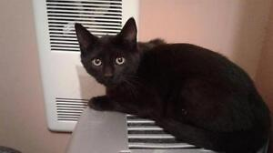 """Young Male Cat - Domestic Short Hair: """"Yuri"""" West Island Greater Montréal image 1"""