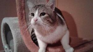 """Adult Male Cat - Domestic Short Hair: """"Bobby"""""""