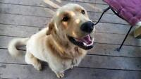 """Adult Male Dog - Golden Retriever: """"Wallace"""""""