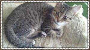 """Baby Male Cat - Domestic Short Hair - gray and white: """"George"""""""