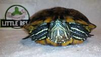 "Adult Male Scales, Fins & Other - Turtle: ""Krusty"""