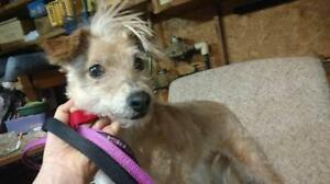 "Adult Female Dog - Terrier-Yorkshire Terrier Yorkie: ""FiFi"""