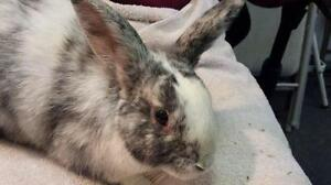 "Young Male Rabbit - Harlequin: ""Mark"""