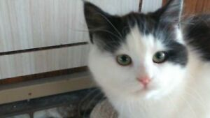 "Adult Female Cat - Domestic Medium Hair: ""MOLLY"""