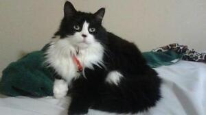 "Adult Male Cat - Tuxedo: ""PASSIUS"""