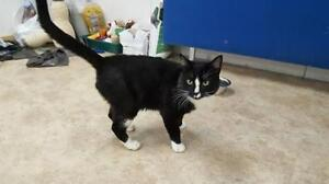 "Adult Male Cat - Domestic Short Hair-black and white: ""Cricket"""