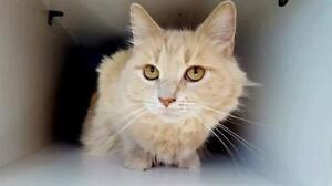 "Adult Female Cat - Domestic Medium Hair: ""Anna"""