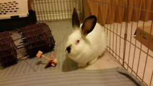 "Adult Female Rabbit - Californian: ""Tulip"""
