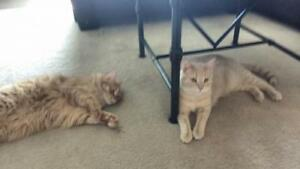 """Young Male Cat - Domestic Long Hair (Orange): """"Max & Jude"""""""