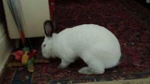 "Adult Female Rabbit - Californian: ""Stella Star"" Cambridge Kitchener Area image 2"