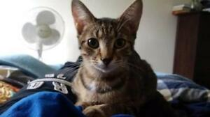 """Young Female Cat - Domestic Short Hair-gray: """"Nicky"""""""
