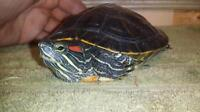"Young Male Scales, Fins & Other - Red-eared Slider: ""Squirtle"""