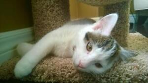 Baby Male  - Domestic Short Hair-black and white London Ontario image 2