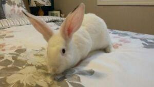 """Young Female Rabbit - New Zealand: """"Olivia"""""""