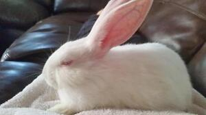 "Young Male Rabbit - New Zealand: ""Jace"""