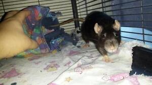 "Adult Female Small & Furry - Rat: ""Fleur & Cosette"""