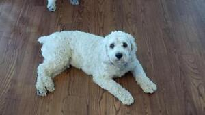 """Young Male Dog - Cockapoo: """"Odie, owner surrender"""""""