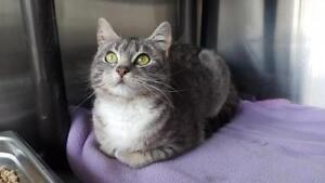 """Young Female Cat - Domestic Short Hair: """"Pudge"""""""