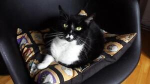 "Young Female Cat - Domestic Short Hair: ""Moustache Girl"""