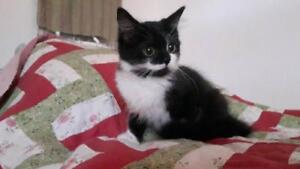 "Baby Female Cat - Domestic Medium Hair (Black & White): ""Pepper"""