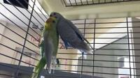 "Adult Male Bird - Parakeet (Other): ""Jesus & Cheeky (BONDED)"""
