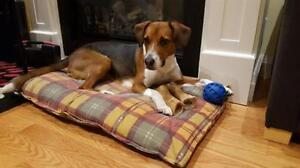 "Adult Male Dog - Foxhound-Beagle: ""Charlie"""