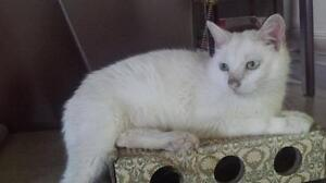 "Adult Female Cat - Domestic Short Hair (White): ""Tartine"""