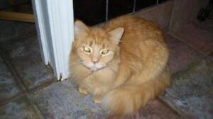 """Young Male Cat - Tabby - Orange: """"Jody"""""""