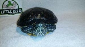 """Adult Male Scales, Fins & Other - Turtle: """"Trigger"""""""