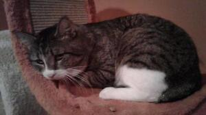"Adult Male Cat - Domestic Short Hair: ""Brutus"""