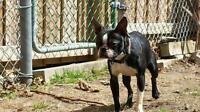 """Adult Male Dog - Boston Terrier: """"Thor"""""""