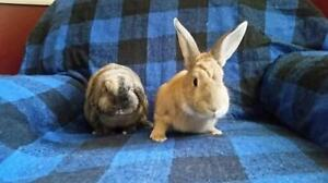 """Adult Male Rabbit - New Zealand-Holland Lop: """"Patch & Blossom"""""""