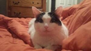 """Young Female Cat - Domestic Short Hair: """"Poppy"""""""